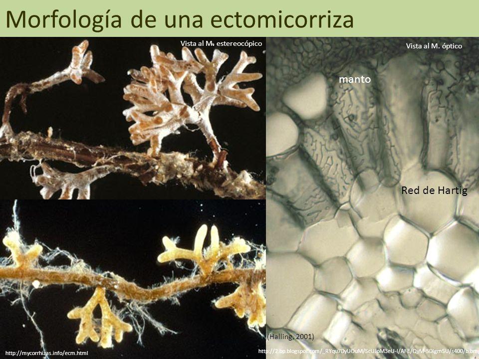 Morfología de una ectomicorriza