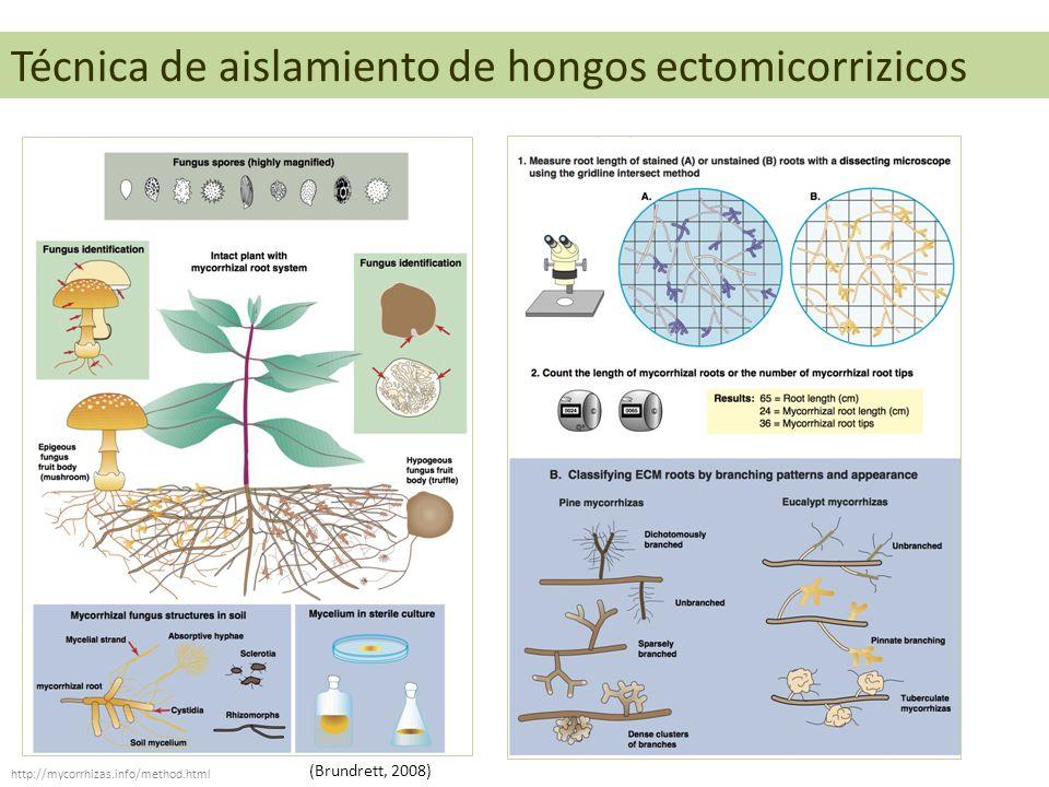 Técnica de aislamiento de hongos ectomicorrizicos