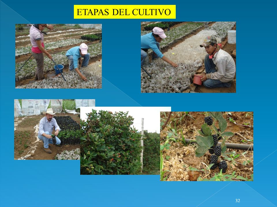 ETAPAS DEL CULTIVO