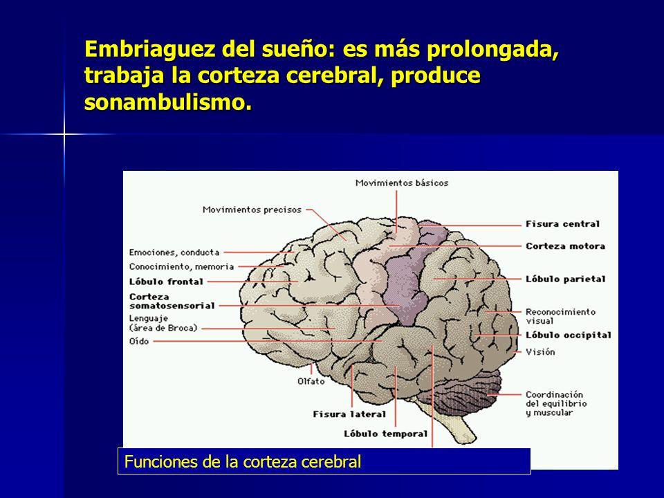 Embriaguez del sueño: es más prolongada, trabaja la corteza cerebral, produce sonambulismo.