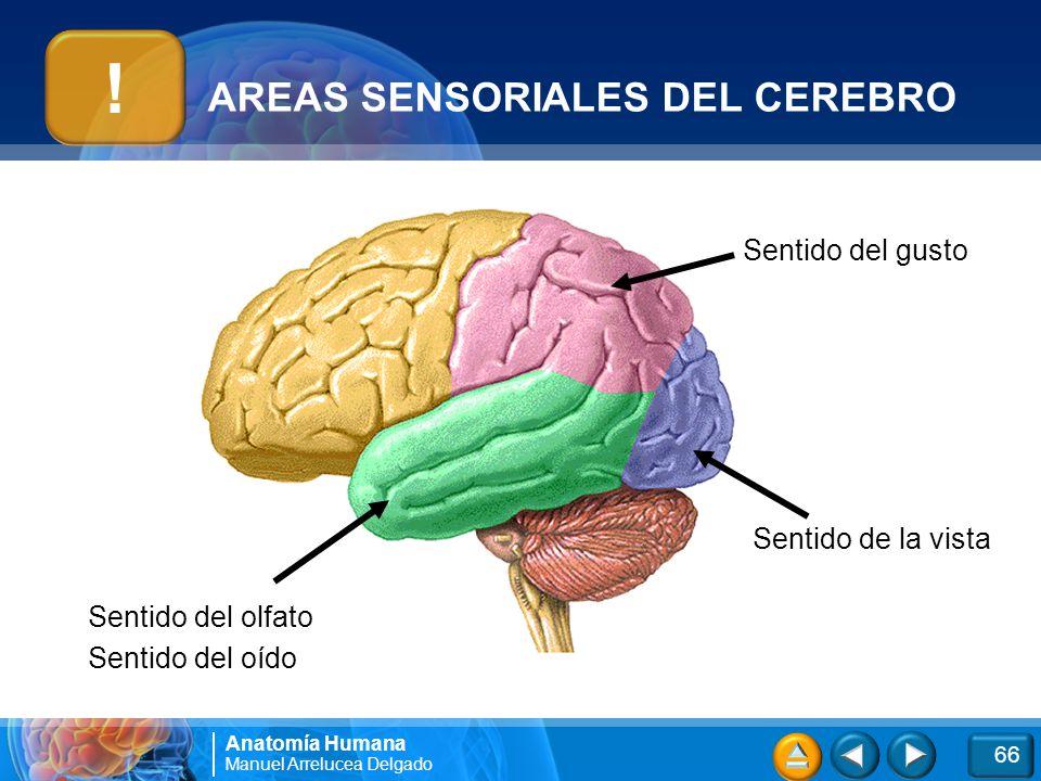 Atractivo Paloma Anatomía Del Cerebro Modelo - Anatomía de Las ...