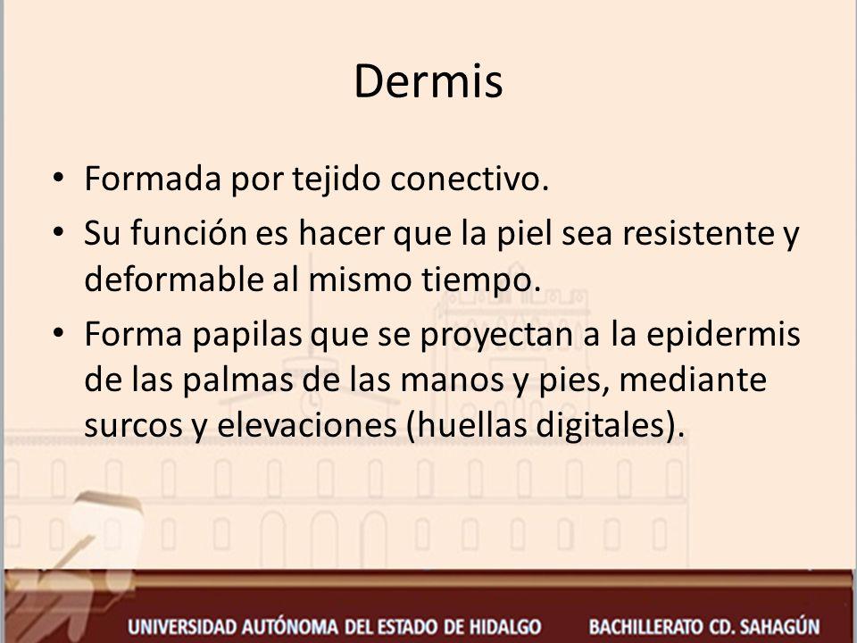 Dermis Formada por tejido conectivo.