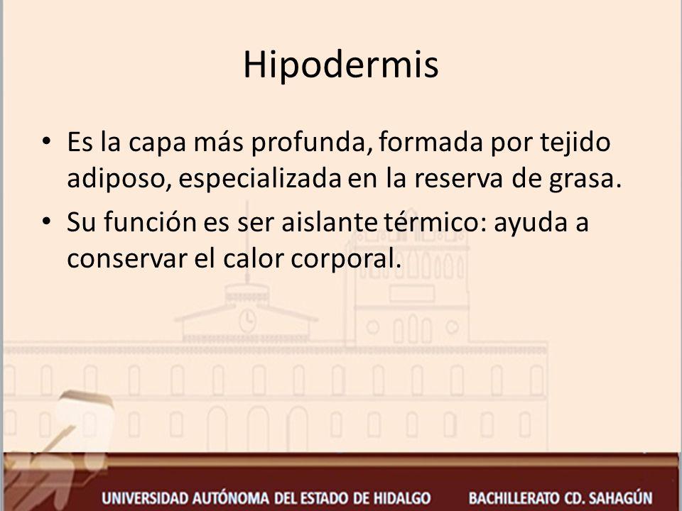 Hipodermis Es la capa más profunda, formada por tejido adiposo, especializada en la reserva de grasa.
