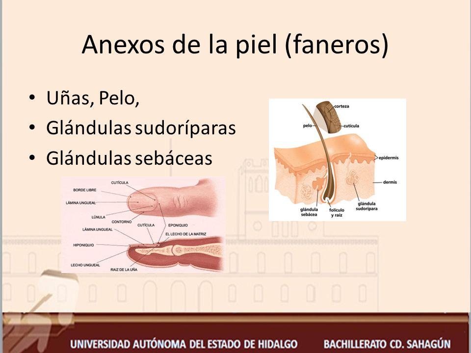 Anexos de la piel (faneros)