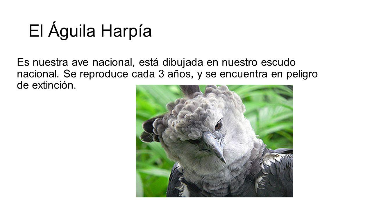 El Águila Harpía