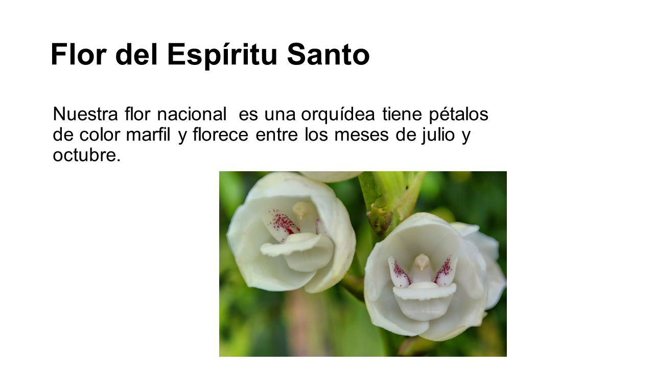 Flor del Espíritu Santo