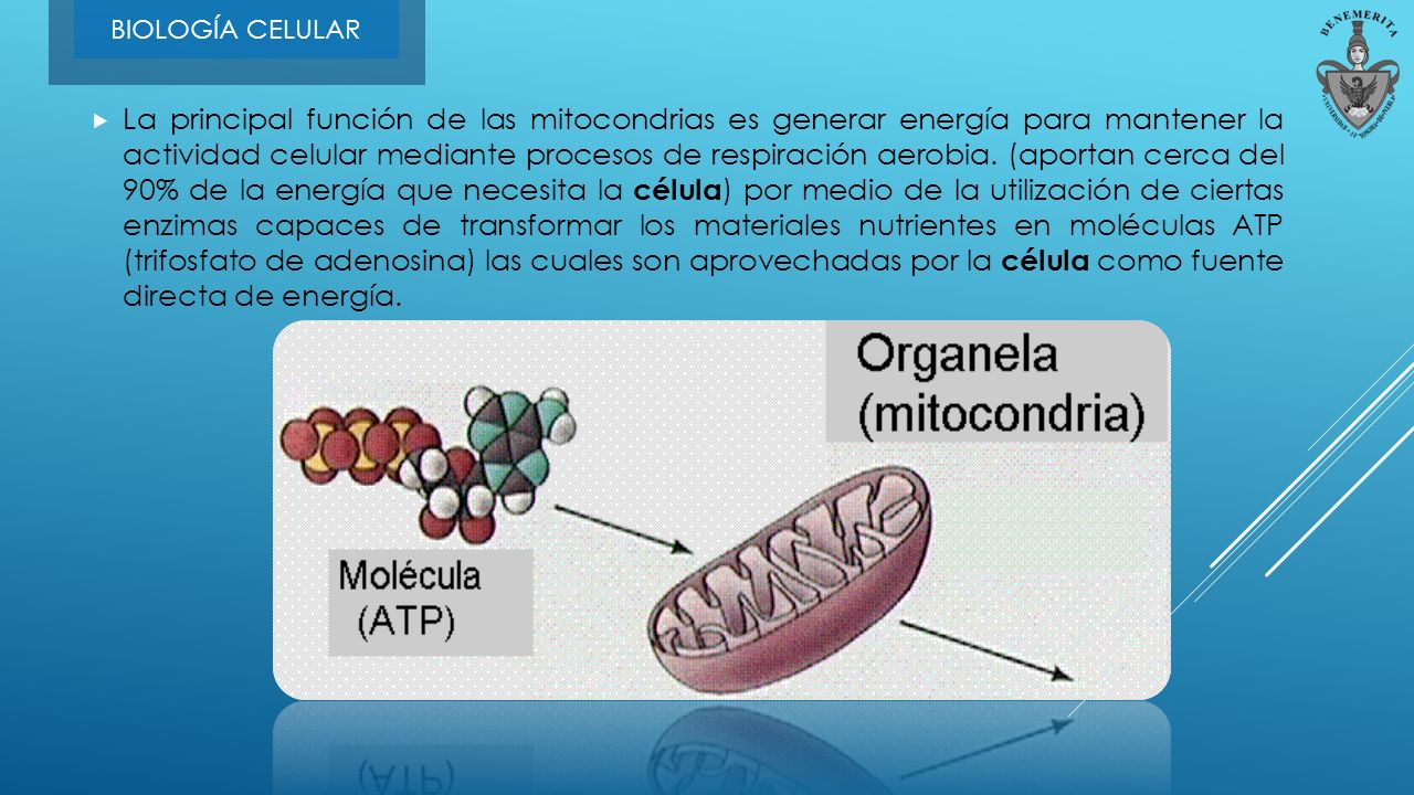 Resultado de imagen de La principal función de la mitocondria es general energía