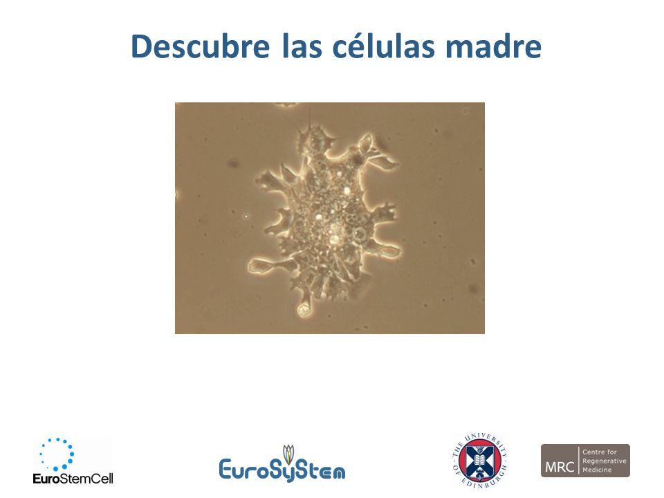 Descubre las células madre