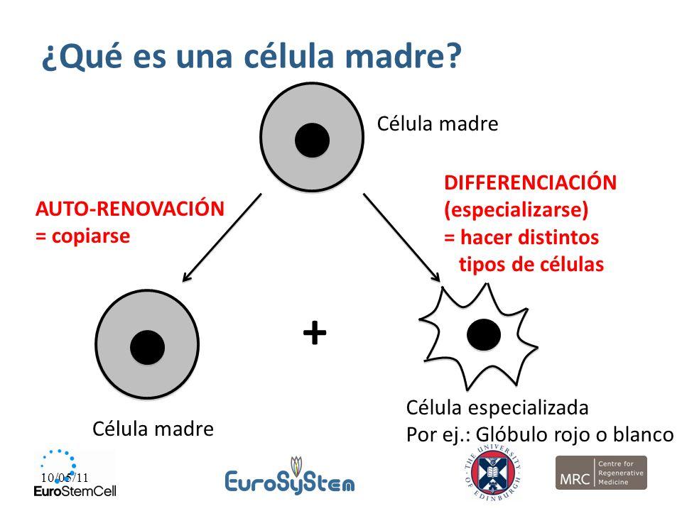 + ¿Qué es una célula madre Célula madre DIFFERENCIACIÓN