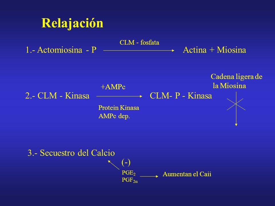 Relajación 1.- Actomiosina - P Actina + Miosina