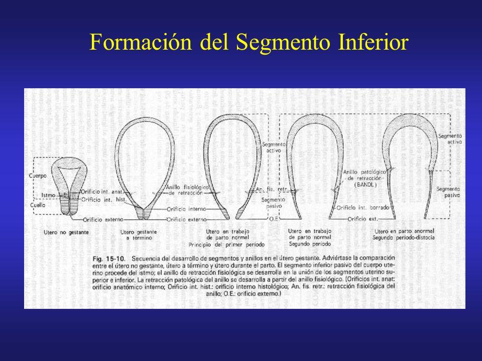 Formación del Segmento Inferior