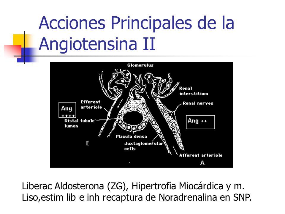 Acciones Principales de la Angiotensina II