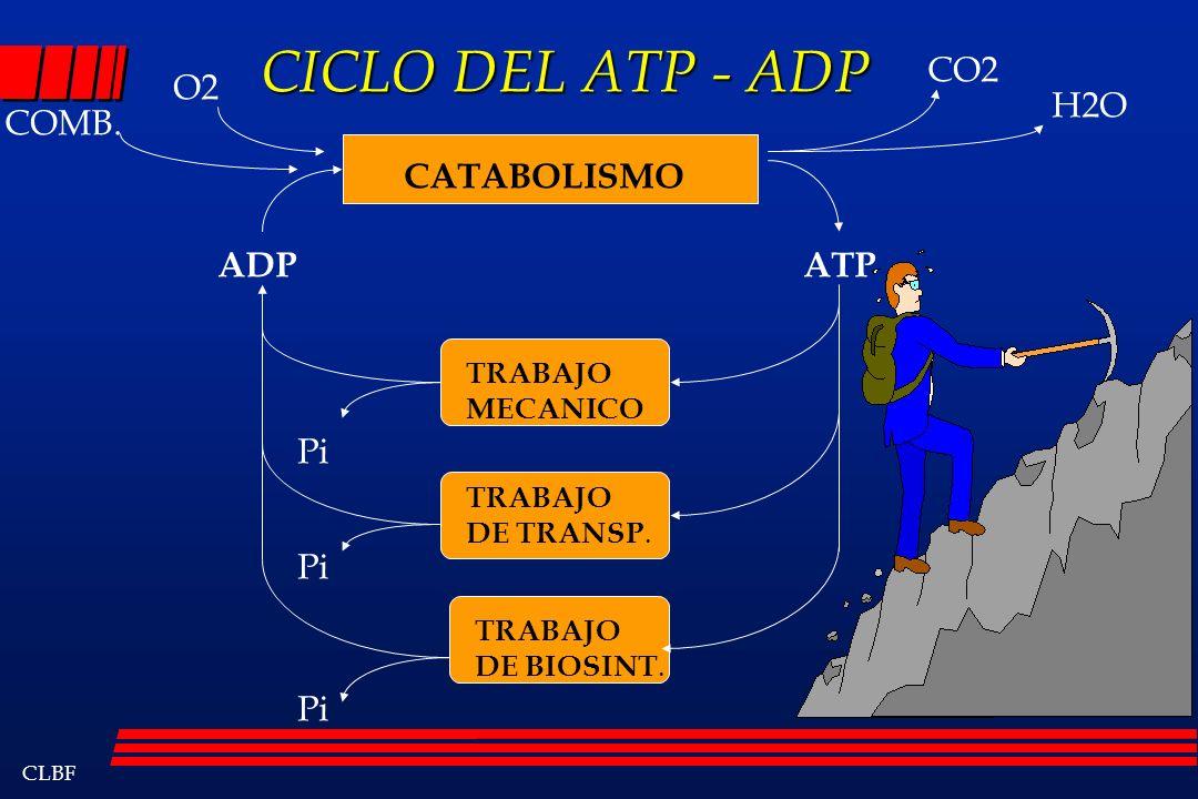 CICLO DEL ATP - ADP CO2 O2 H2O COMB. CATABOLISMO ADP ATP Pi Pi Pi