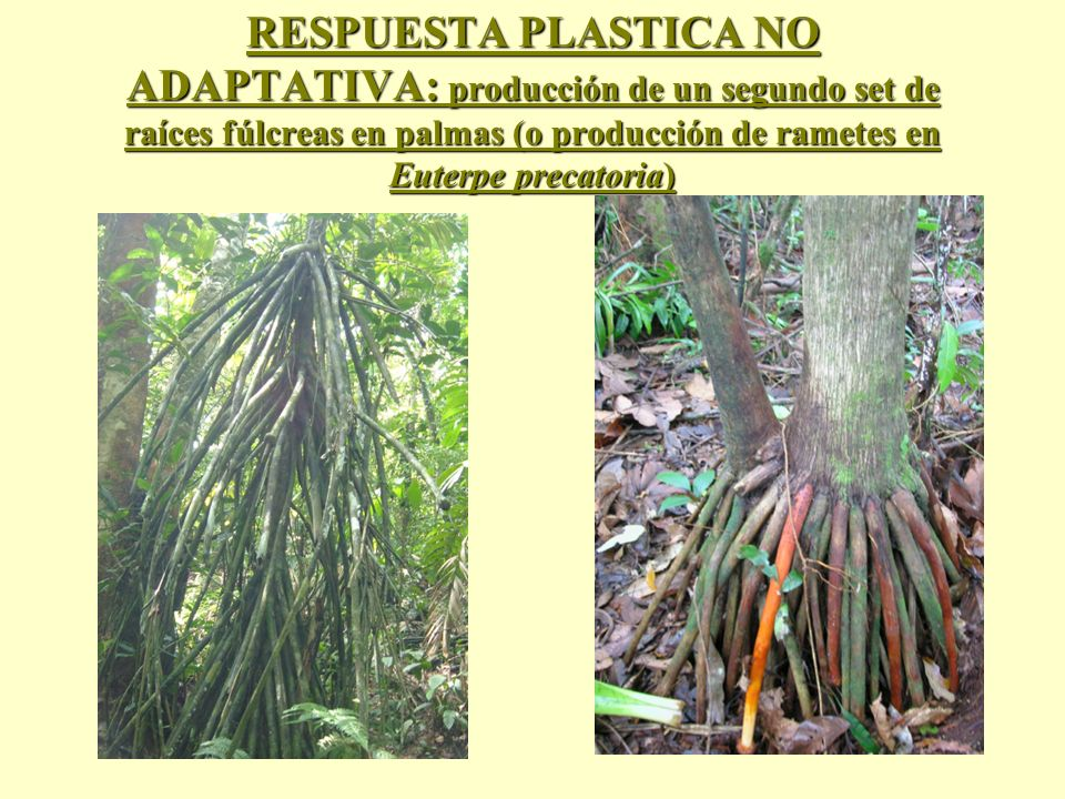 RESPUESTA PLASTICA NO ADAPTATIVA: producción de un segundo set de raíces fúlcreas en palmas (o producción de rametes en Euterpe precatoria)