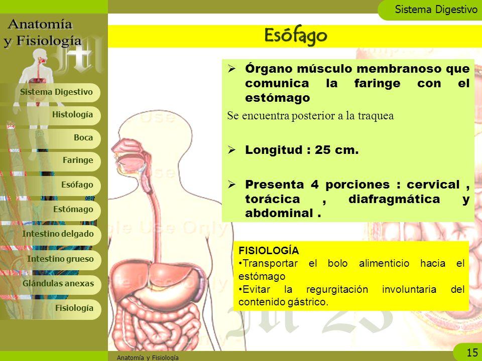 Lujo Anatomía De La Tráquea Y El Esófago Imágenes - Imágenes de ...