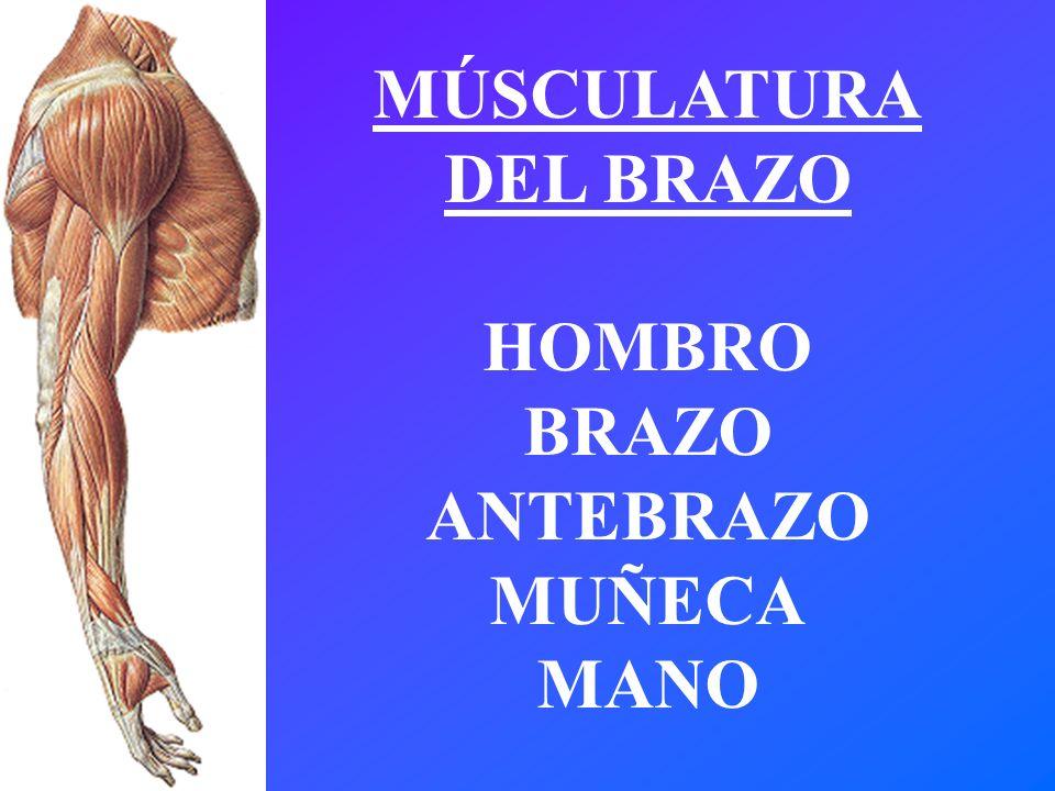 Dorable Muscular Del Brazo Y El Antebrazo Molde - Anatomía de Las ...