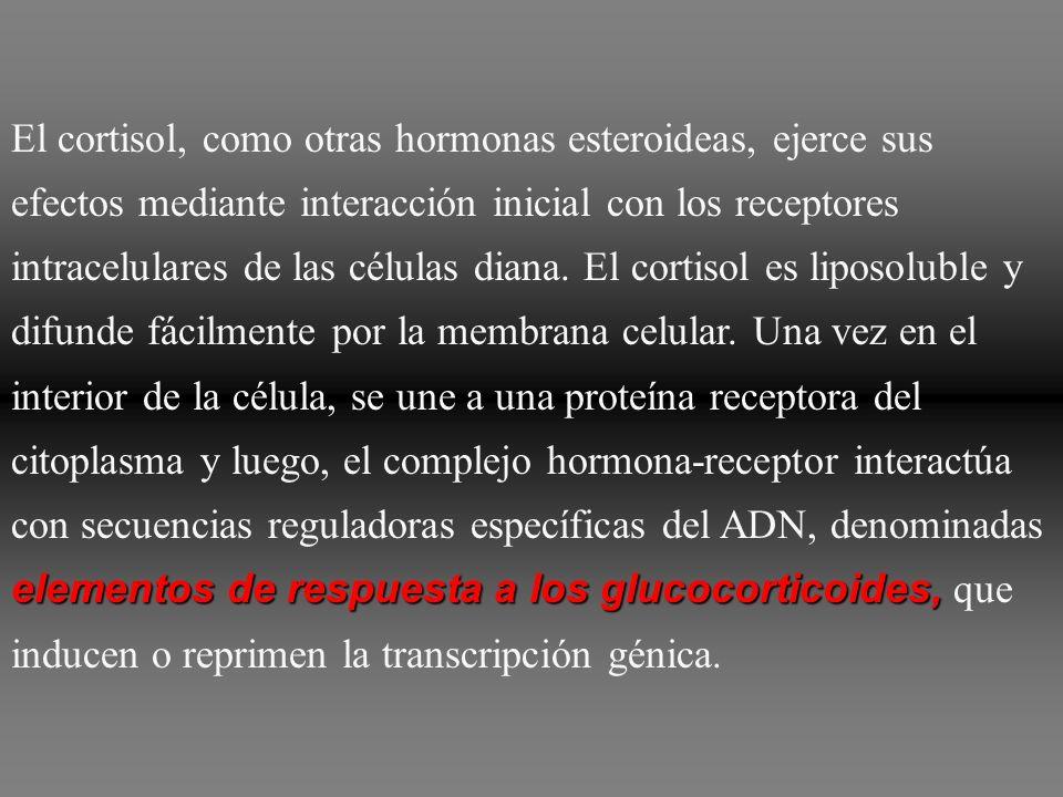 El cortisol, como otras hormonas esteroideas, ejerce sus efectos mediante interacción inicial con los receptores intracelulares de las células diana.