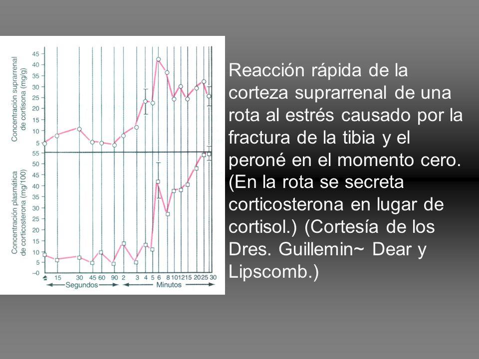 Reacción rápida de la corteza suprarrenal de una rota al estrés causado por la fractura de la tibia y el peroné en el momento cero.
