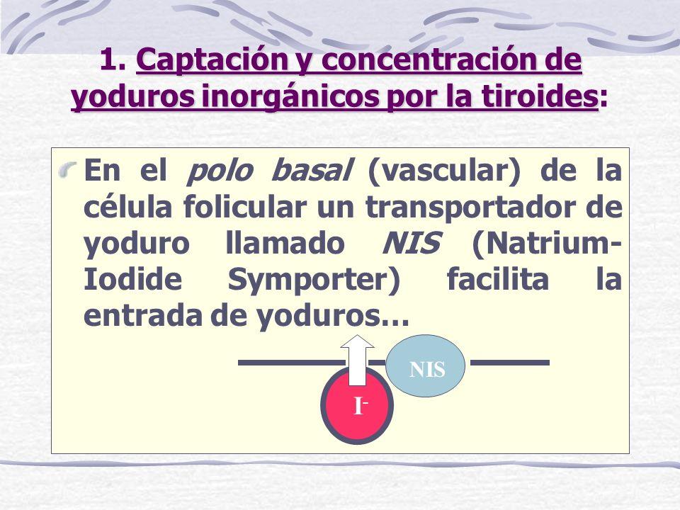 1. Captación y concentración de yoduros inorgánicos por la tiroides:
