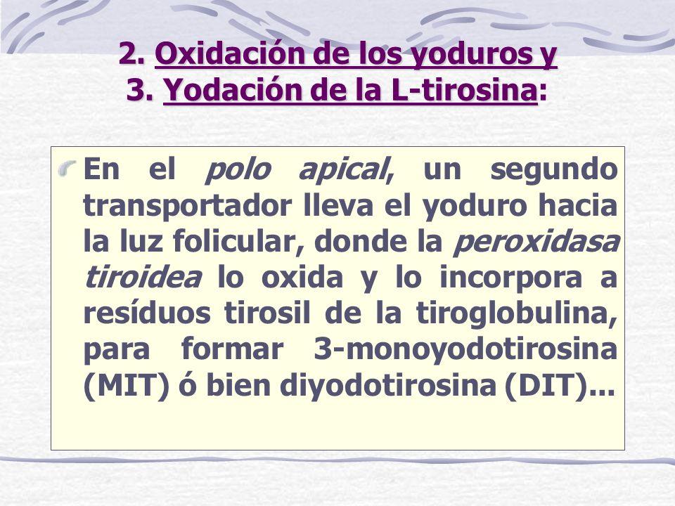 2. Oxidación de los yoduros y 3. Yodación de la L-tirosina: