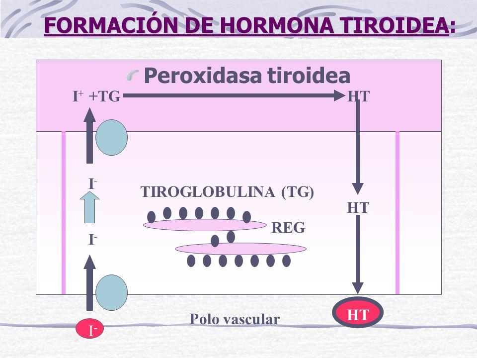 FORMACIÓN DE HORMONA TIROIDEA:
