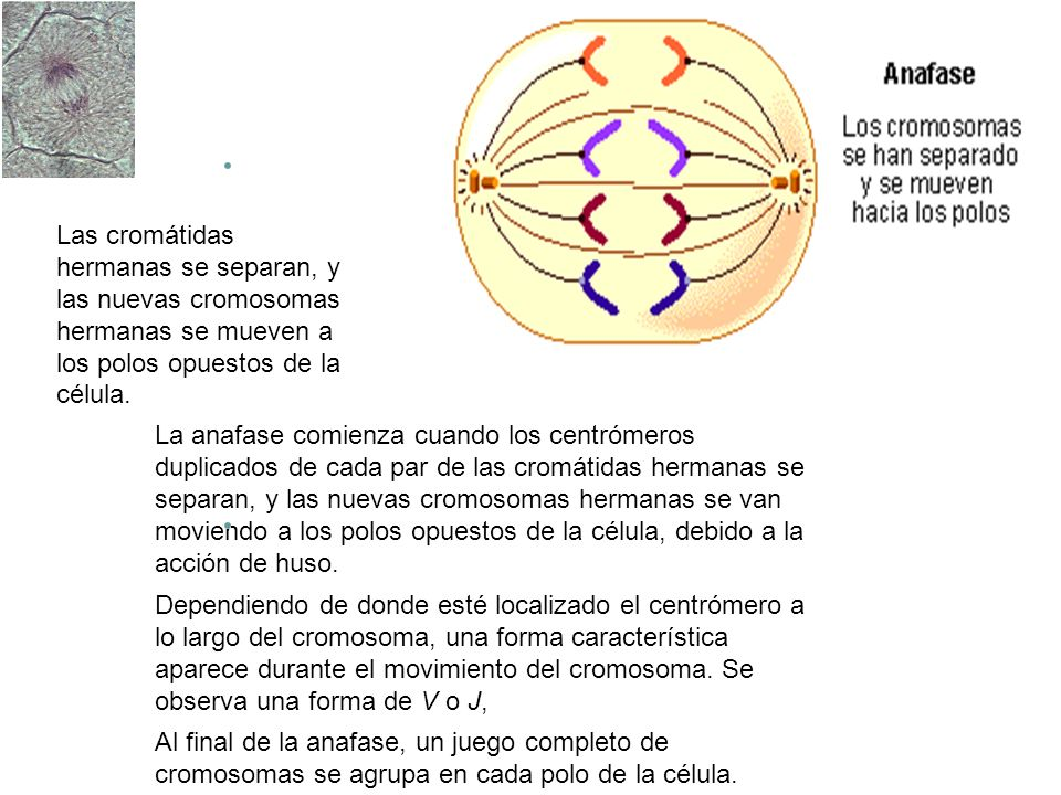 Divisi n nuclear en eucariontes ppt descargar for Los nietos se separan