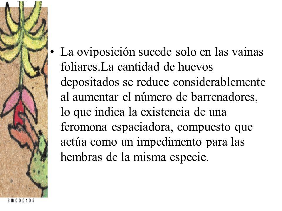 La oviposición sucede solo en las vainas foliares