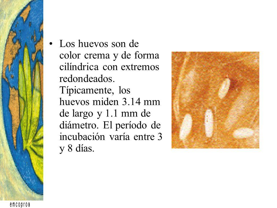 Los huevos son de color crema y de forma cilíndrica con extremos redondeados.