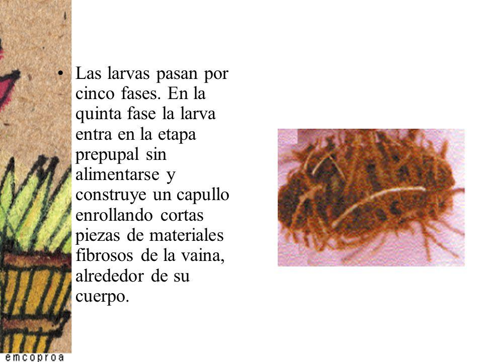 Las larvas pasan por cinco fases