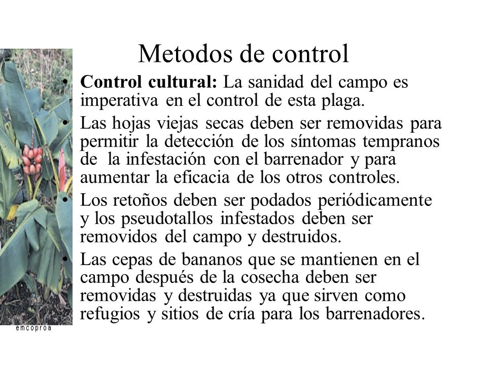 Metodos de control Control cultural: La sanidad del campo es imperativa en el control de esta plaga.