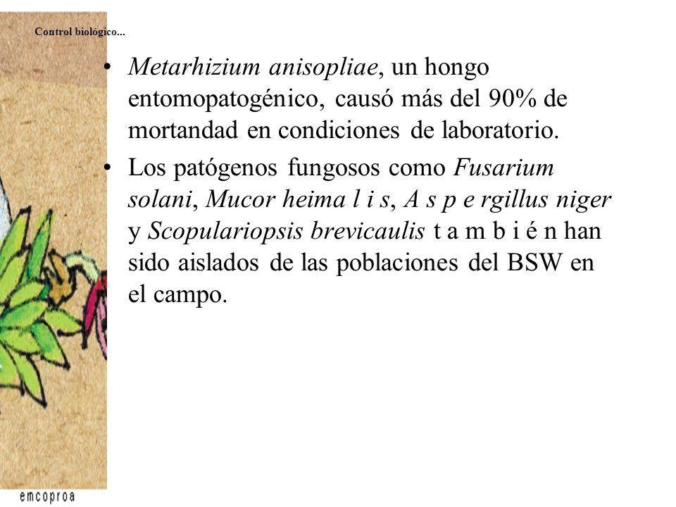 Control biológico... Metarhizium anisopliae, un hongo entomopatogénico, causó más del 90% de mortandad en condiciones de laboratorio.