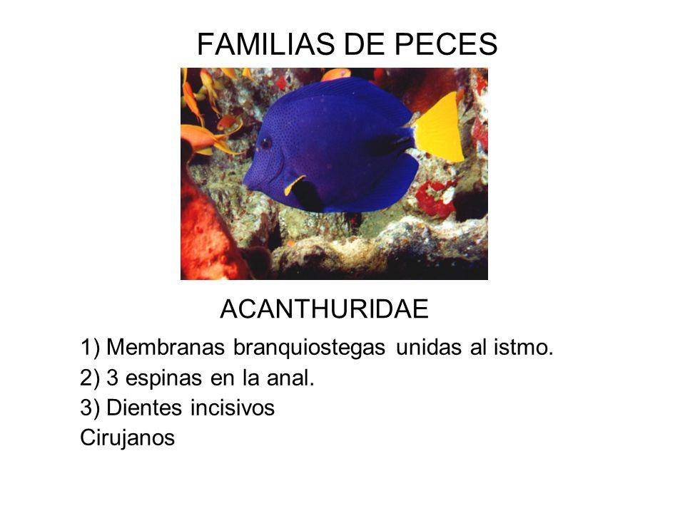 FAMILIAS DE PECES ACANTHURIDAE