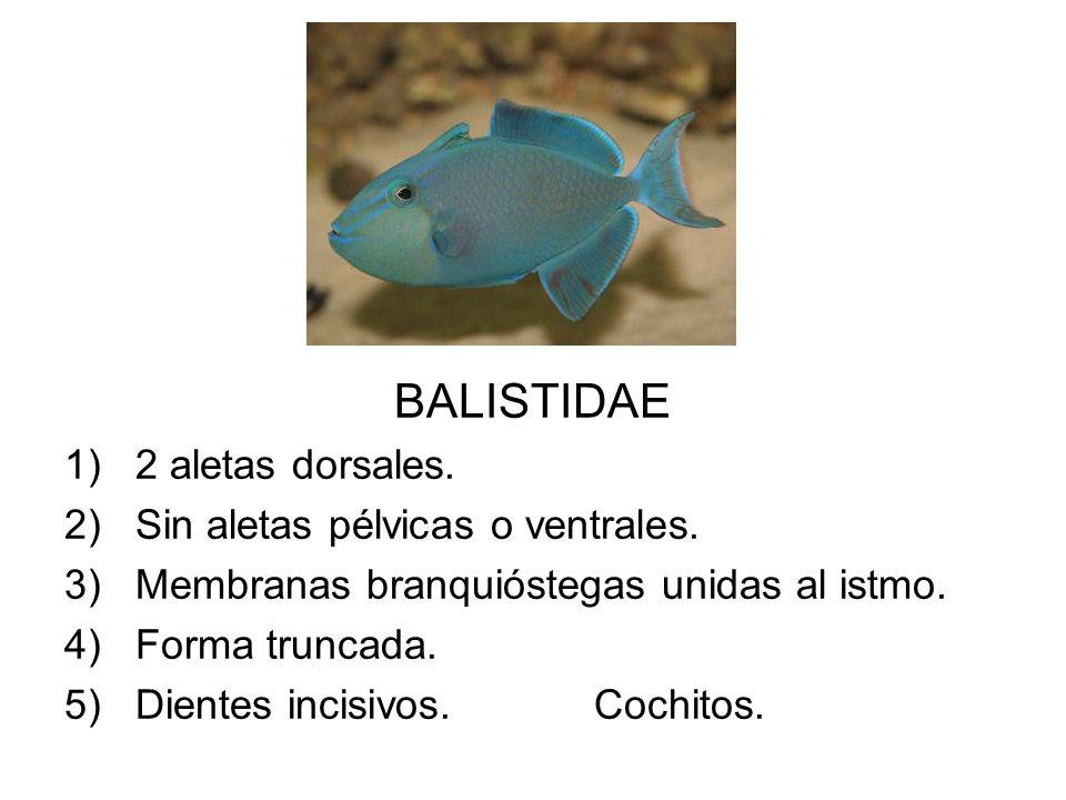 BALISTIDAE 2 aletas dorsales. Sin aletas pélvicas o ventrales.