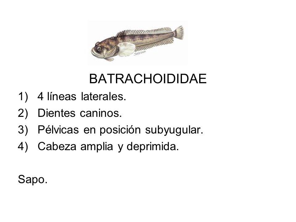 BATRACHOIDIDAE 4 líneas laterales. Dientes caninos.