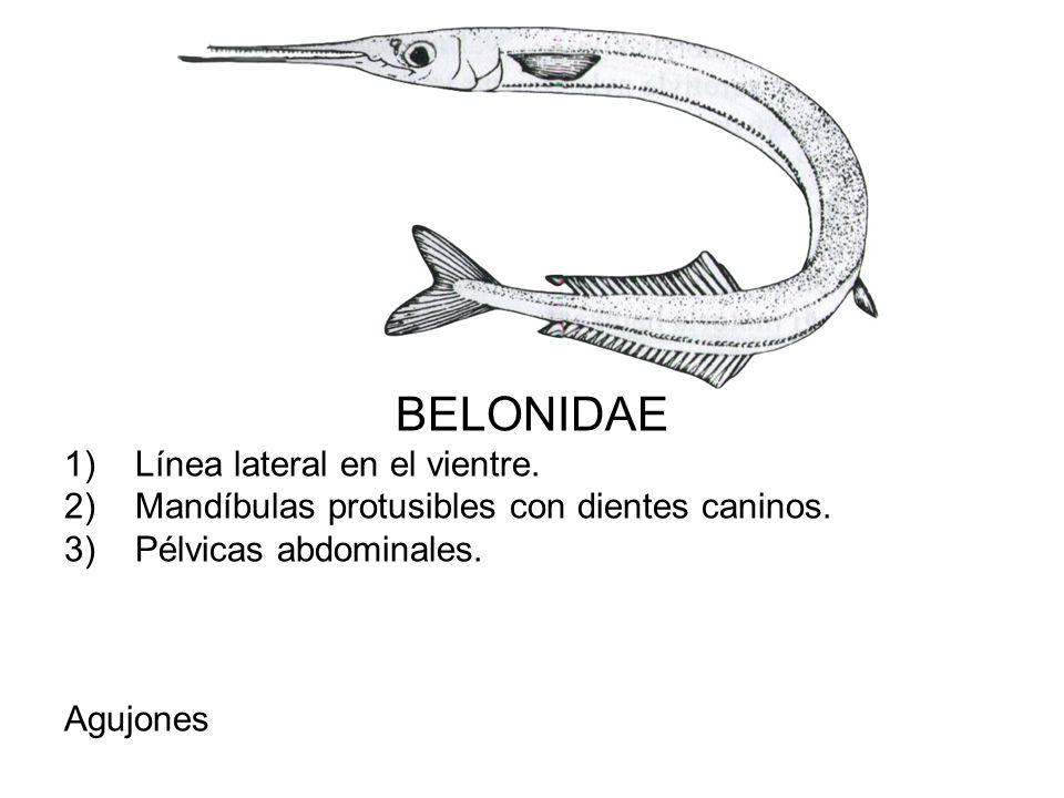 BELONIDAE Línea lateral en el vientre.