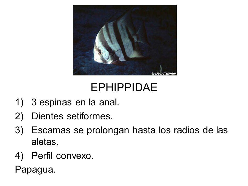 EPHIPPIDAE 3 espinas en la anal. Dientes setiformes.