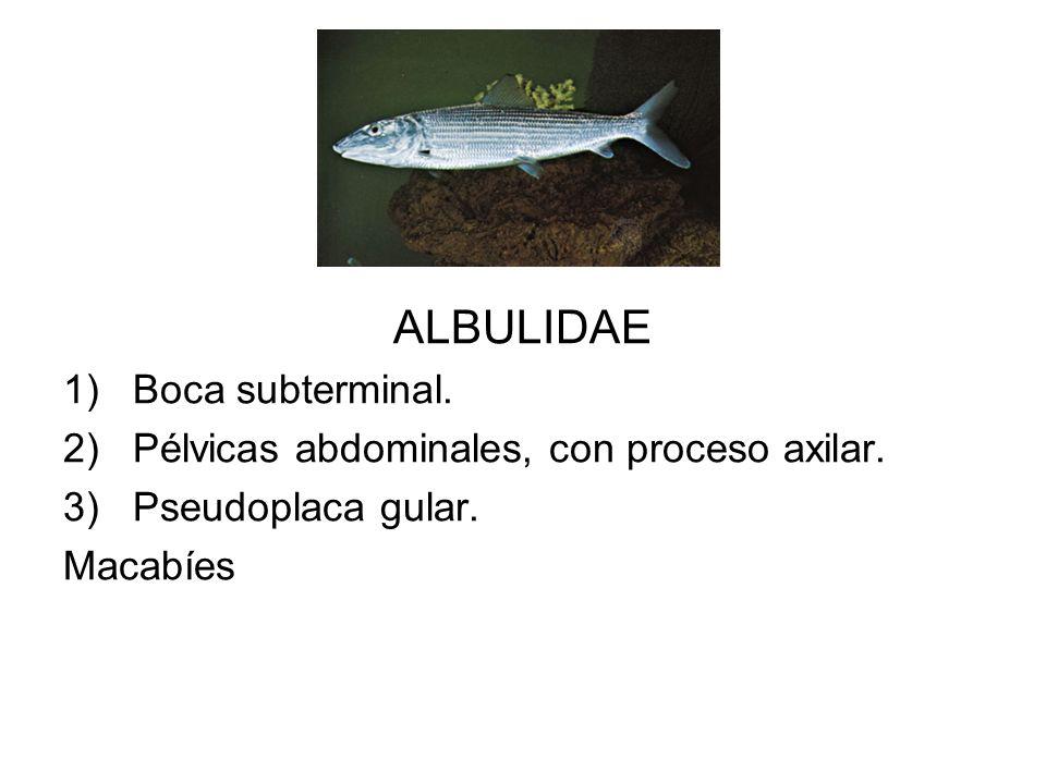 ALBULIDAE Boca subterminal. Pélvicas abdominales, con proceso axilar.