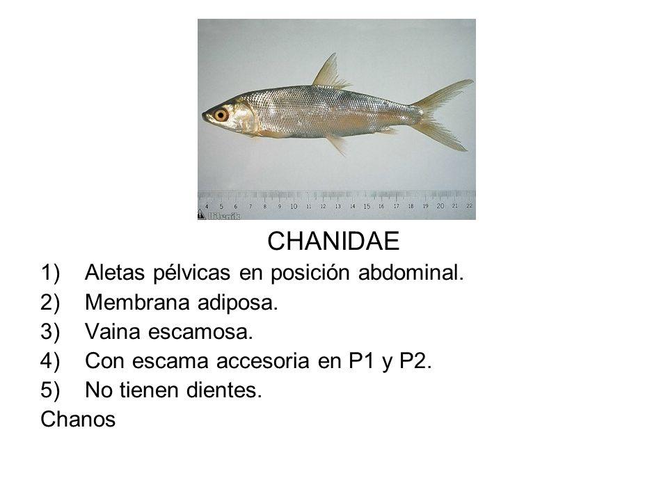CHANIDAE Aletas pélvicas en posición abdominal. Membrana adiposa.