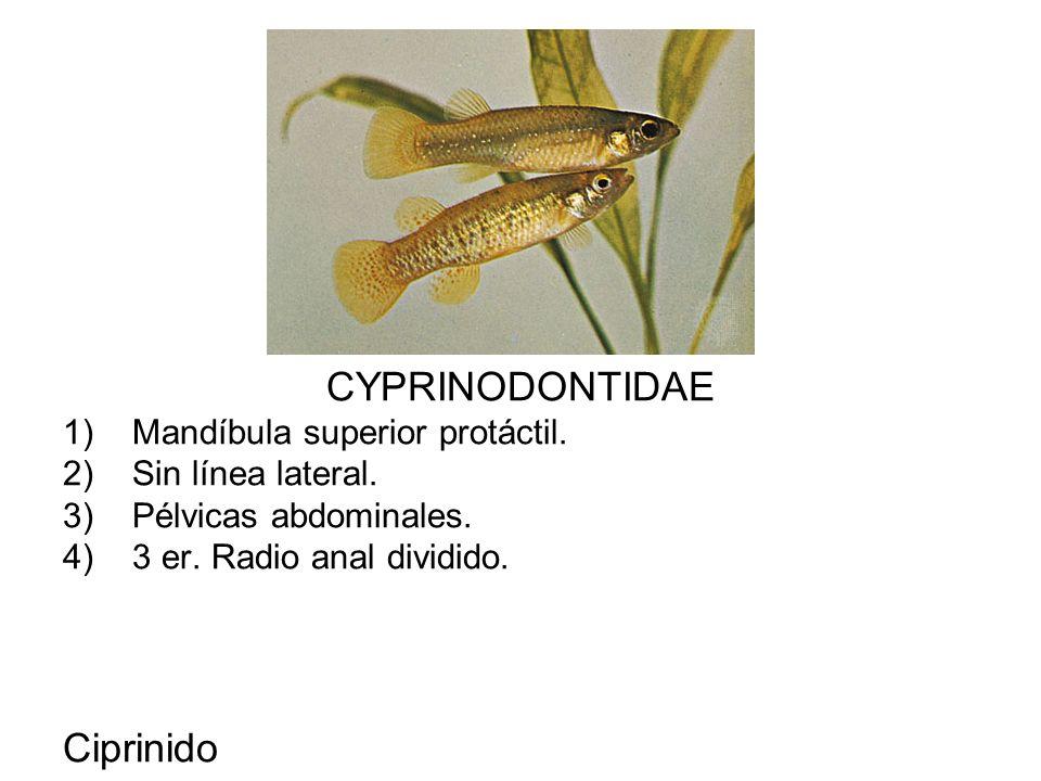 CYPRINODONTIDAE Ciprinido Mandíbula superior protáctil.