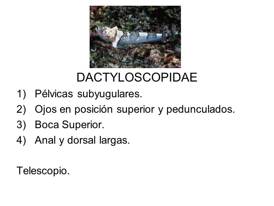 DACTYLOSCOPIDAE Pélvicas subyugulares.