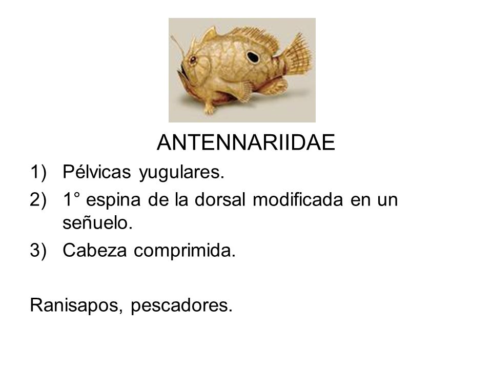 ANTENNARIIDAE Pélvicas yugulares.