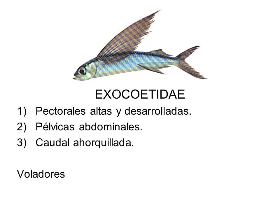 EXOCOETIDAE Pectorales altas y desarrolladas. Pélvicas abdominales.
