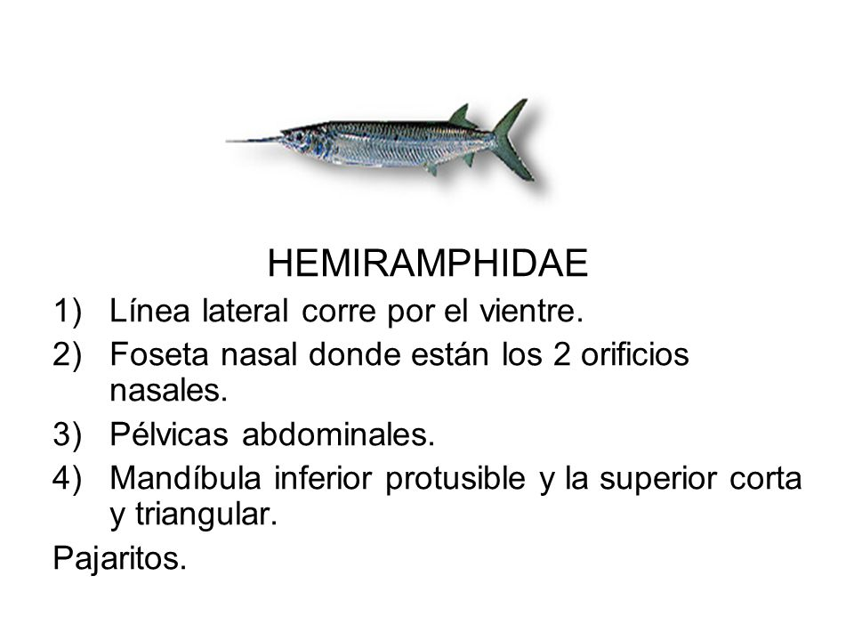 HEMIRAMPHIDAE Línea lateral corre por el vientre.