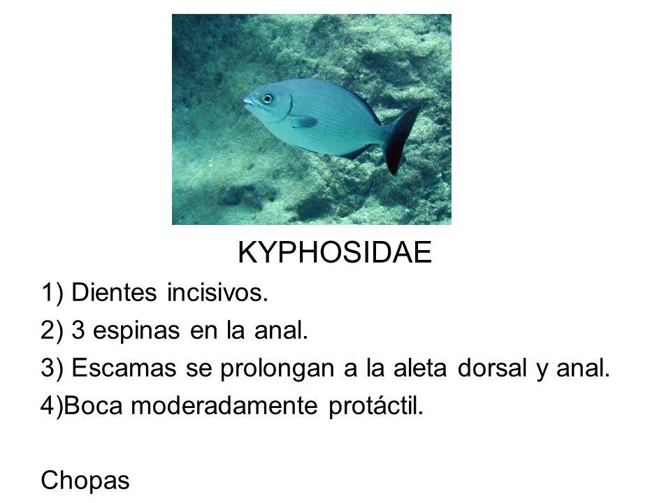 KYPHOSIDAE 1) Dientes incisivos. 2) 3 espinas en la anal.