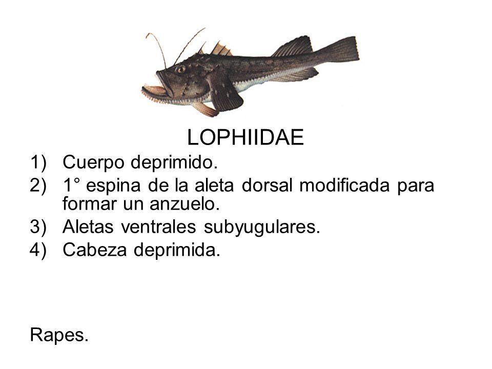 LOPHIIDAE Cuerpo deprimido.