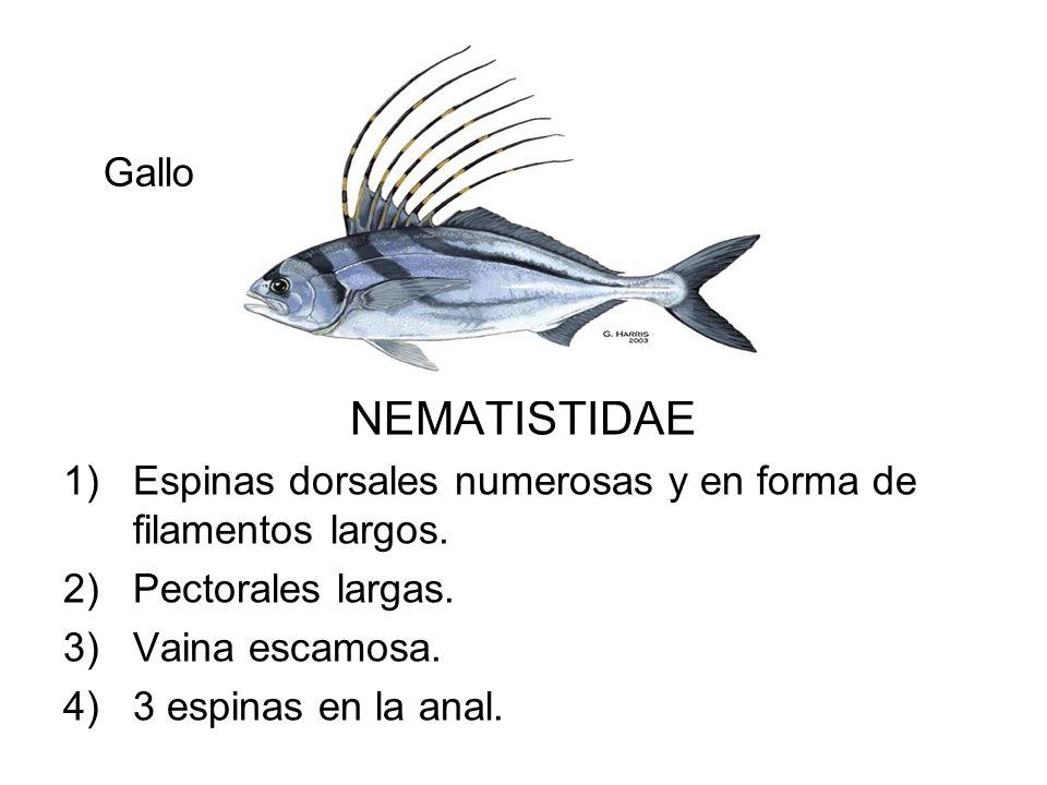 Gallo NEMATISTIDAE. Espinas dorsales numerosas y en forma de filamentos largos. Pectorales largas.