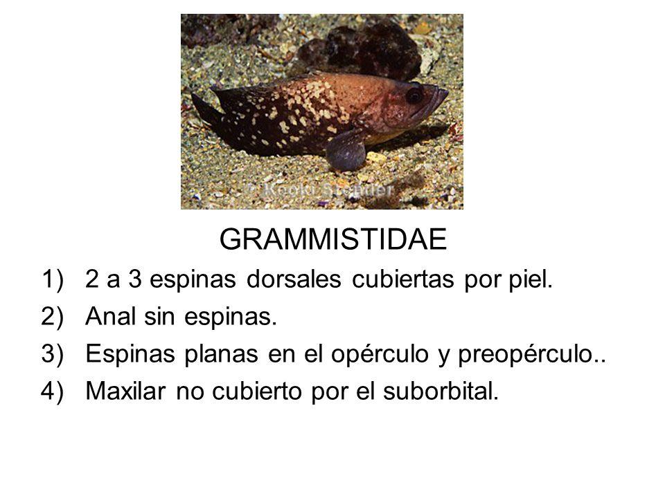 GRAMMISTIDAE 2 a 3 espinas dorsales cubiertas por piel.