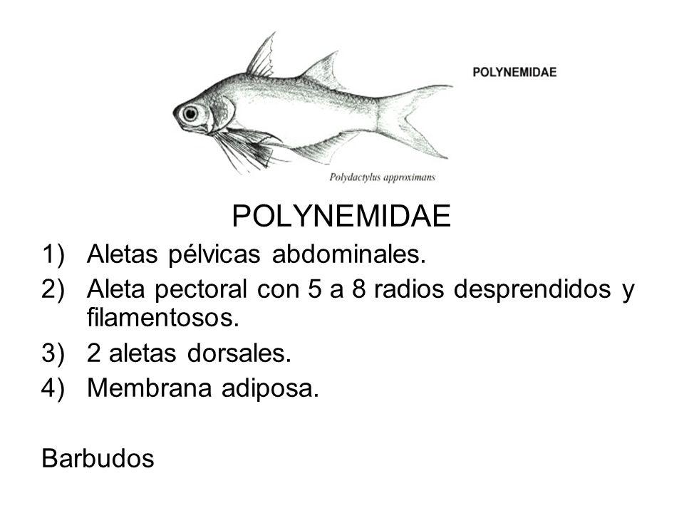 POLYNEMIDAE Aletas pélvicas abdominales.