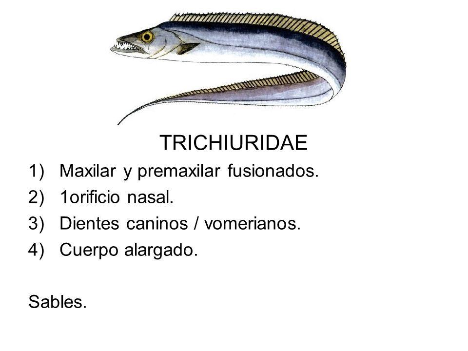 TRICHIURIDAE Maxilar y premaxilar fusionados. 1orificio nasal.