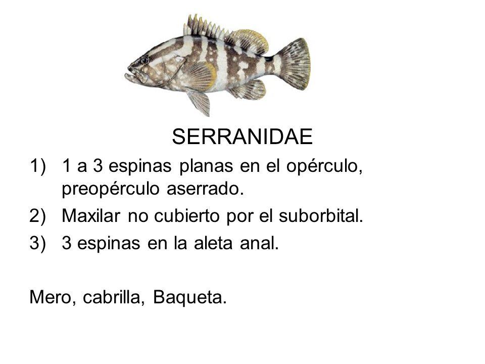 SERRANIDAE 1 a 3 espinas planas en el opérculo, preopérculo aserrado.